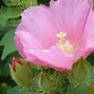 Cotton rosemallow