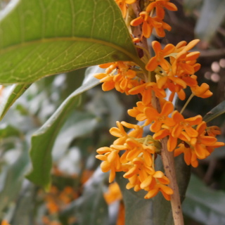 Gold Osmanthus