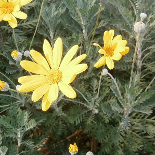 Yellow Bush Daisy